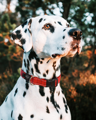 Rogz Classic Dog Collar
