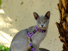 Rogz Cat Harness and Leash Set Kittyrogz  Alleycat Small chest 9-15in neck 8in - 12in Reflective